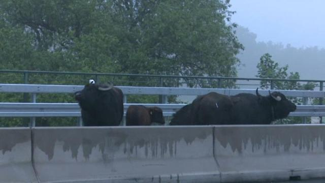 The A3 autobahn near Leverkusen in western Germany was blocked overnight for eight hours after five water buffaloes escaped from a nearby field. The animals began walking around on the motorway at midnight causing major traffic problems. Police and fire brigade eventually managed to encircled them allowing experts from Cologne Zoo to stun them with sedatives. It took almost two hours until all the buffalo fell asleep and could be hoisted off the motorway and transported back to their field.