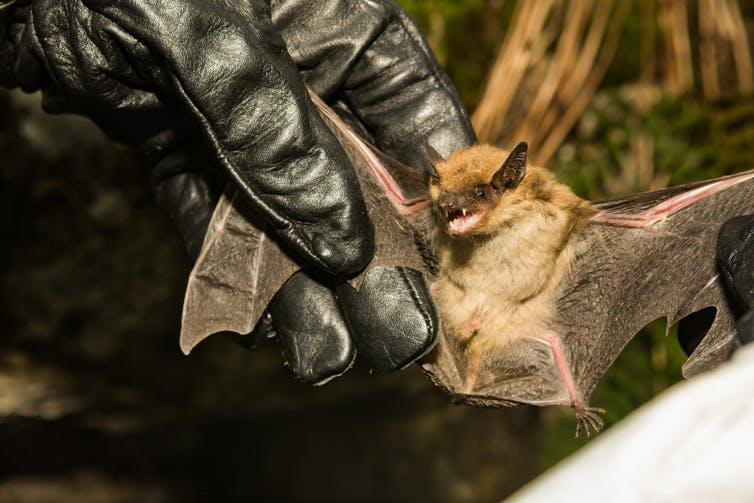 """<span class=""""caption"""">Checking for white nose syndrome.</span> <span class=""""attribution""""><a class=""""link rapid-noclick-resp"""" href=""""https://www.shutterstock.com/image-photo/wildlife-biologist-checking-wings-big-brown-797424433"""" rel=""""nofollow noopener"""" target=""""_blank"""" data-ylk=""""slk:Shutterstock"""">Shutterstock</a></span>"""