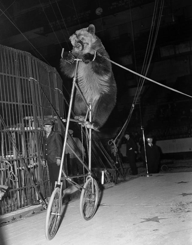 """<p>Circus bear """"Fritz"""" seems none too pleased with his predicament as he pedals his """"high strung"""" bicycle around at the opening of the Ringling Brothers and Barnum & Bailey Circus at Madison Square Garden, New York, April 5, 1939. (AP Photo/Tom Sande) </p>"""