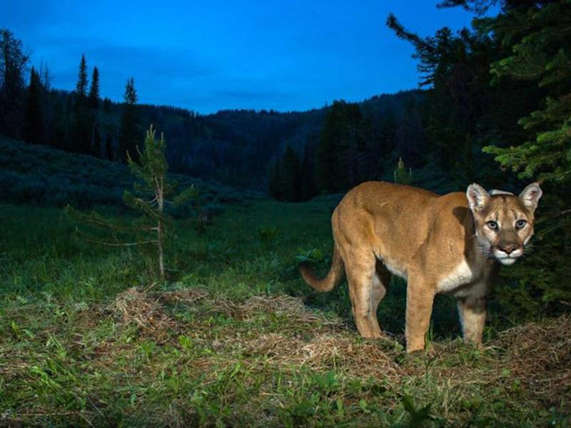 Mountain lion spotted stalking children on bikes in California (iStock)