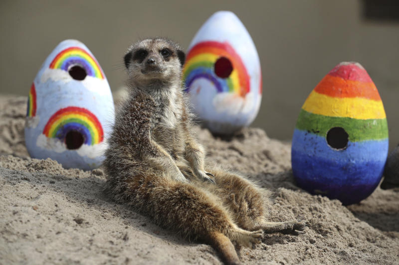 A meerkat sits near to rainbow coloured Easter eggs filled with enrichments given to the animals by staff at Blair Drummond Safari Park, in Blair Drummond, Scotland, Friday, April 10, 2020. The park is closed to the public as the UK continues its lockdown to help curb the spread of the coronavirus. (Andrew Milligan/PA via AP)