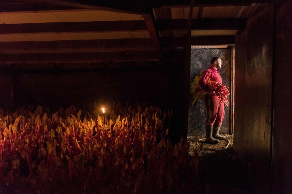 <p>Farm worker Marek Vojteck harvests forced rhubarb by candlelight on Robert Tomlinson's farm in Pudsey, near Leeds in northern England on Feb. 12, 2019. The farm falls within the 'Rhubarb Triangle', the area defined between the three cities of Leeds, Wakefield and Bradford, which is synonymous with the commercial growing of forced rhubarb since the 1870s. The rhubarb is grown in dark, heated sheds and harvested by candlelight to prevent the plant from producing chlorophyll, which preserves its colour and make the rhubarb sweeter and more tender. (Photo by Oli Scarff/AFP/Getty Images) </p>