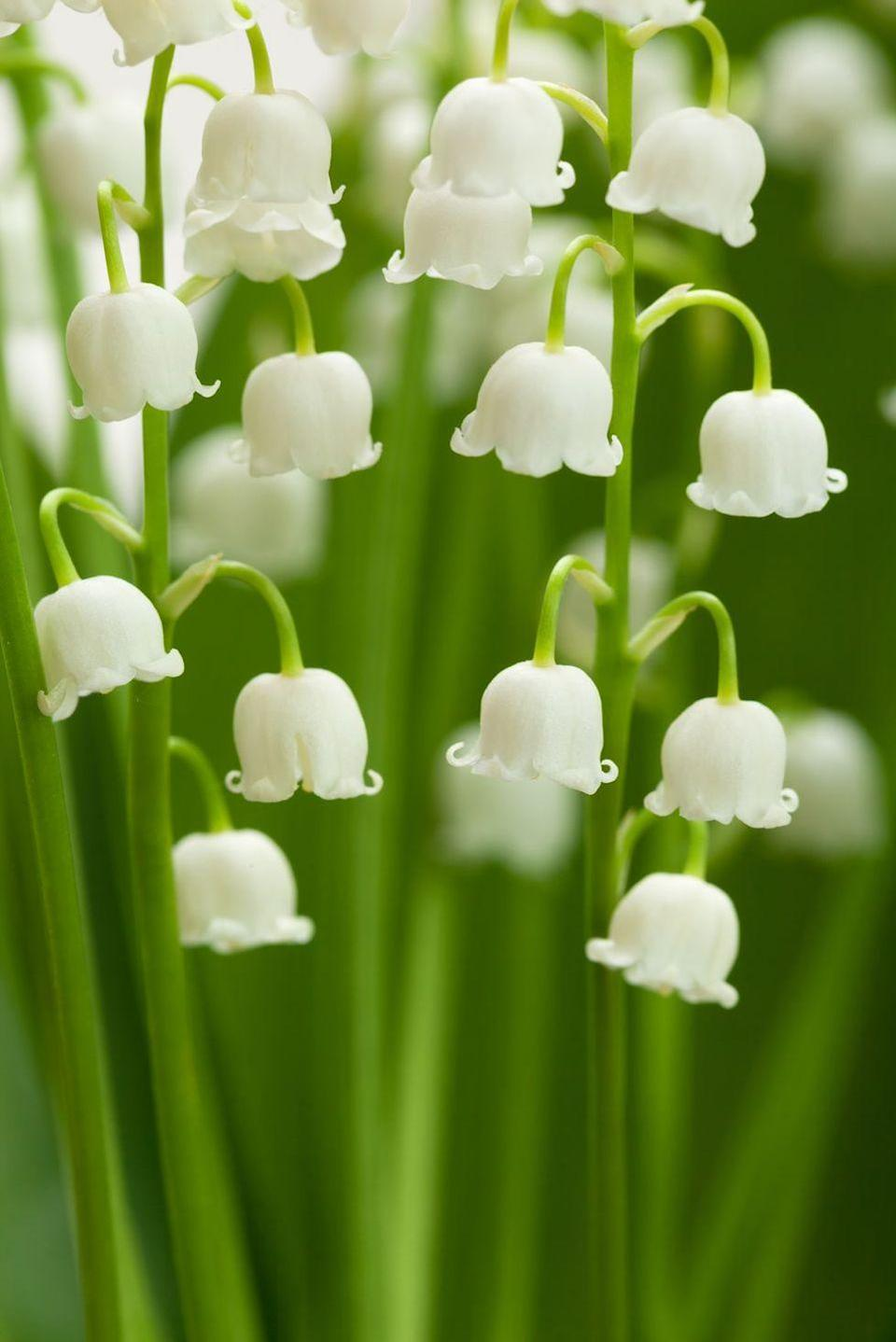 <p>These pretty little bell-shaped flowers carry a message that's just as innocent as they look. They stand for purity, happiness, luck, and humility. Though they smell delicious, don't be fooled: These flowers aren't edible.</p>