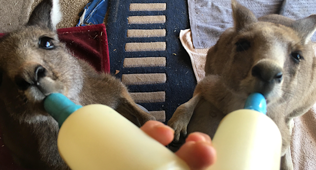 Two joeys suckle from bottles in Nikki Medwell's care. Source: Supplied
