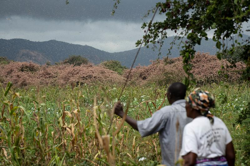 Farmers look across as swarms of pink desert locusts create a thick blanket covering trees on their farmland in Katitika village, Kitui county, Kenya.