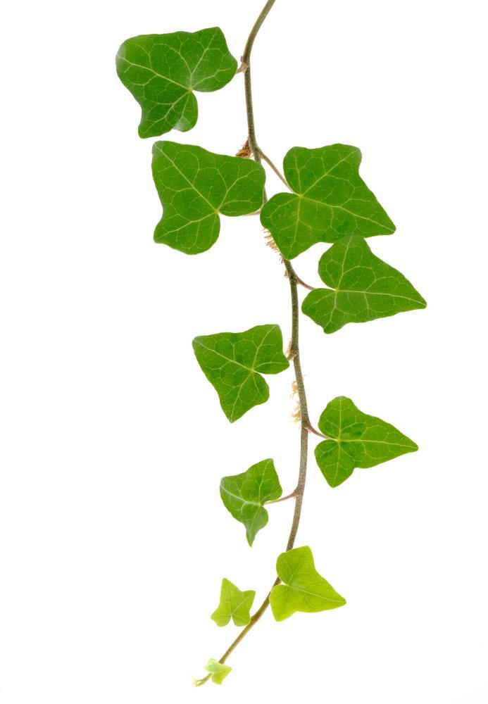 A branch of ivy on a white background