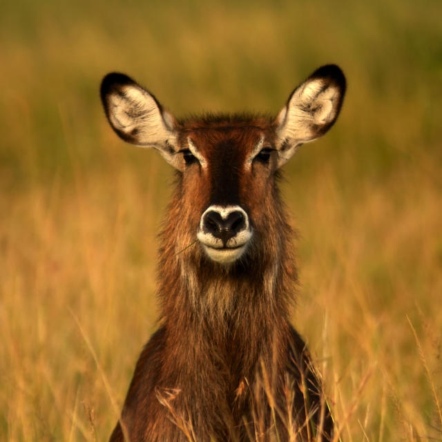 PIC BY NANCIE WIGHT / CATERS NEWS - (PICTURED A waterbuck with a love heart shaped nose) With Valentines Day just around the corner its the time of year when love is in the air but as these pictures prove - its all over the earth too. These extraordinary images, taken by photographers across the globe, show Mother Nature is also gearing up to celebrate the big day with iconic heart shapes appearing all over the natural world. The charming pictures capture Mother Natures romantic side and feature several signs of love including an adorable fluffy penguin with a white heart emblazoned on its chest. Other natural displays include a flamingo creating a heart shape with its white and pink plumage and two swans which appear to kiss as they form a heart shape with their necks. SEE CATERS COPY