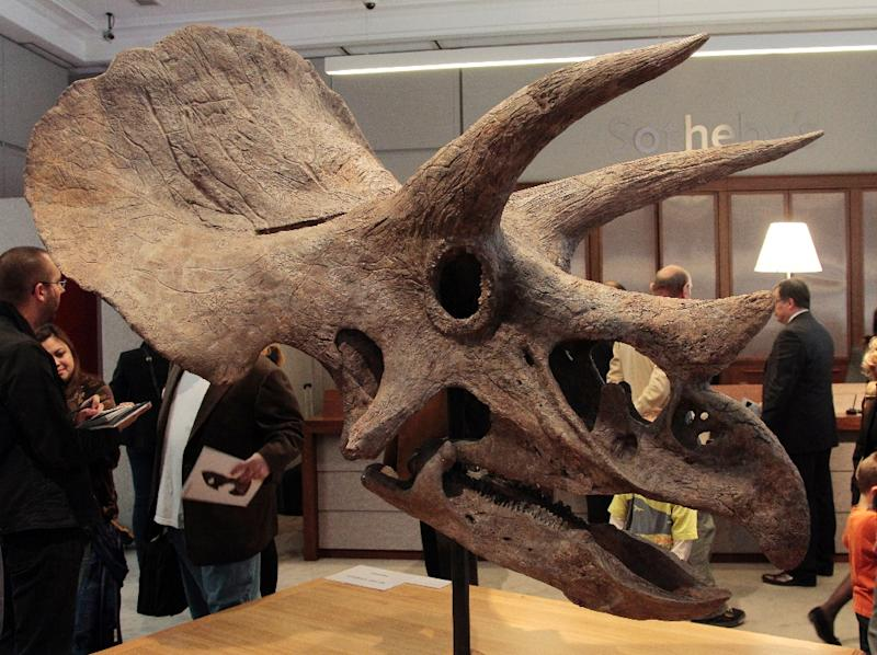 A horned dinosaur previously unknown to scientists is actually a relative of the Triceratops, seen here at Sotheby's auction house in Paris on Octobert 13, 2011