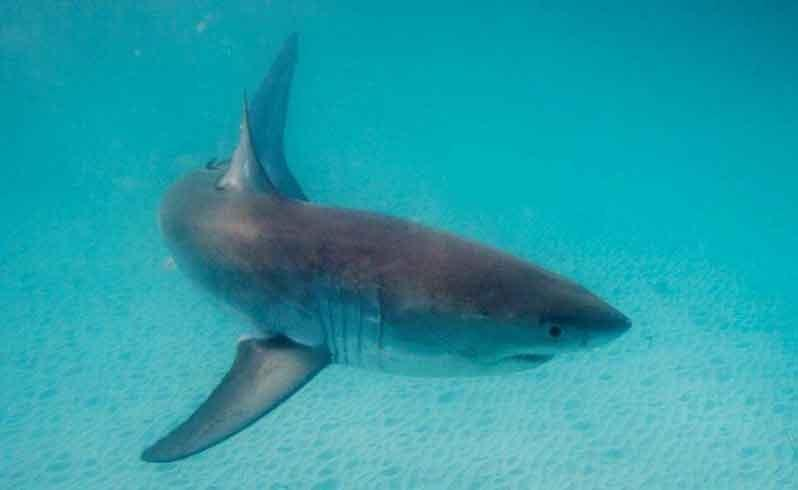 Scientist claims shark is 'loitering'