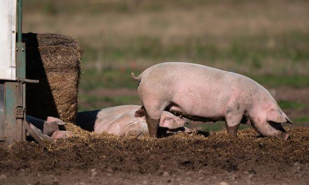 <strong>Pigs on a farm in Staffordshire.</strong> (Photo: Joe Giddens via PA Wire/PA Images)