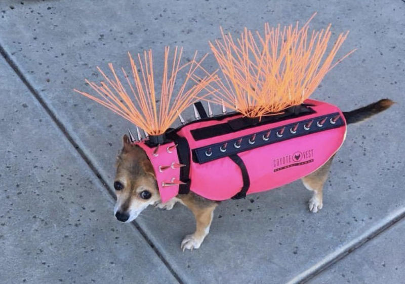 best service 494a3 41bc3 Dog wearing a neon coyote vest goes viral