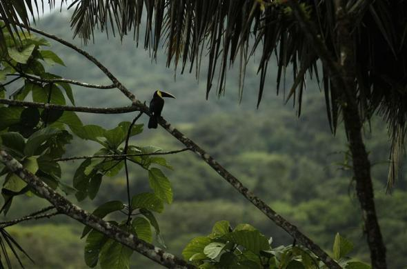 A toucan rests on a branch in the Braullio Carrillo National Park, 50 kilometers (31 miles) east of San Jose, Costa Rica June 5, 2012. According to a recent poll, Costa Ricans would agree to pay higher taxes if it is used for actions to promote the environment, according to local media. Costa Rica, with more than 30% of its territories held in national parks, celebrates World Environment Day.