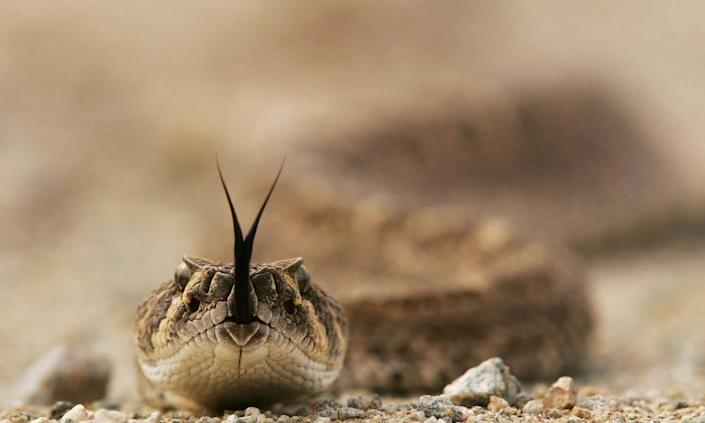 'Rattlesnakes are becoming more common in the places where we live, work and play'
