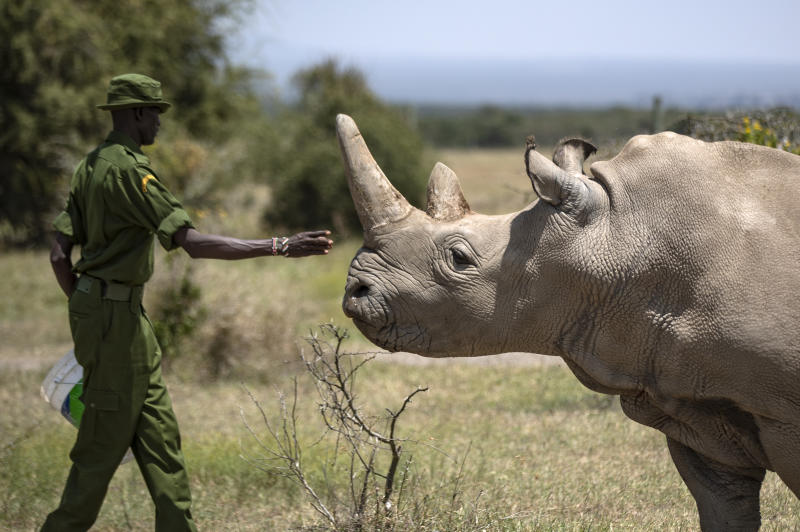 FILE - In this Friday, Aug. 23, 2019 file photo, a ranger reaches out towards female northern white rhino Najin, 30, one of the last two northern white rhinos on the planet, in her enclosure at Ol Pejeta Conservancy, Kenya. Researchers said Wednesday, Jan. 15, 2020 that they have successfully created another embryo of the nearly extinct northern white rhino, just the third to be created in a lab with eggs taken from the females and inseminated with frozen sperm from dead males, in a global effort to keep the species alive.(AP Photo/Ben Curtis, File)