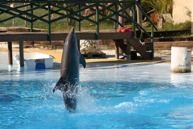 <em>Trick – dolphins often learn talk walking in captivity, but it's rarely performed in the wild (Picture: Getty)</em>