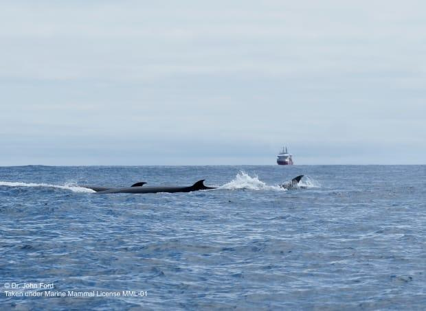 The group of sei whales was spotted by the scientists aboard the Canadian Coast Guard Ship John P Tully. (John KB Ford - image credit)