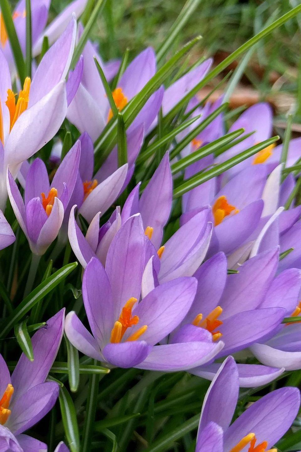 <p>They're the first signs of spring, so it makes sense that crocuses symbolize youthful happiness. It's also the way we feel when we see them start peeking through the snow at the first bit of warmth. </p>