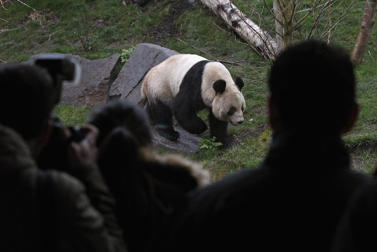 EDINBURGH, SCOTLAND - DECEMBER 16:  Memebers of the public view Tian Tian the female panda bear at Edinburgh Zoo on December 16, 2011 in Edinburgh, Scotland. The eight-year-old pair of giant pandas arrived on a specially chartered flight from China over a week ago and are the first to live in the UK for 17 years. Edinburgh zoo are hopeful that the pandas will give birth to cubs during their 10 year stay in Scotland.  (Photo by Jeff J Mitchell/Getty Images)