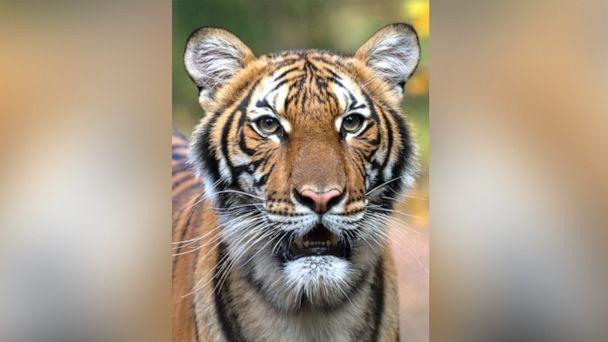 PHOTO: Nadia, a 4-year-old female Malayan tiger at the Bronx Zoo, has tested positive for COVID-19 according to a press release dated April 5, 2020. (WCS)