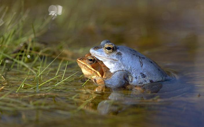 There is some evidence the moor frog once lived in Britain - ullstein bild