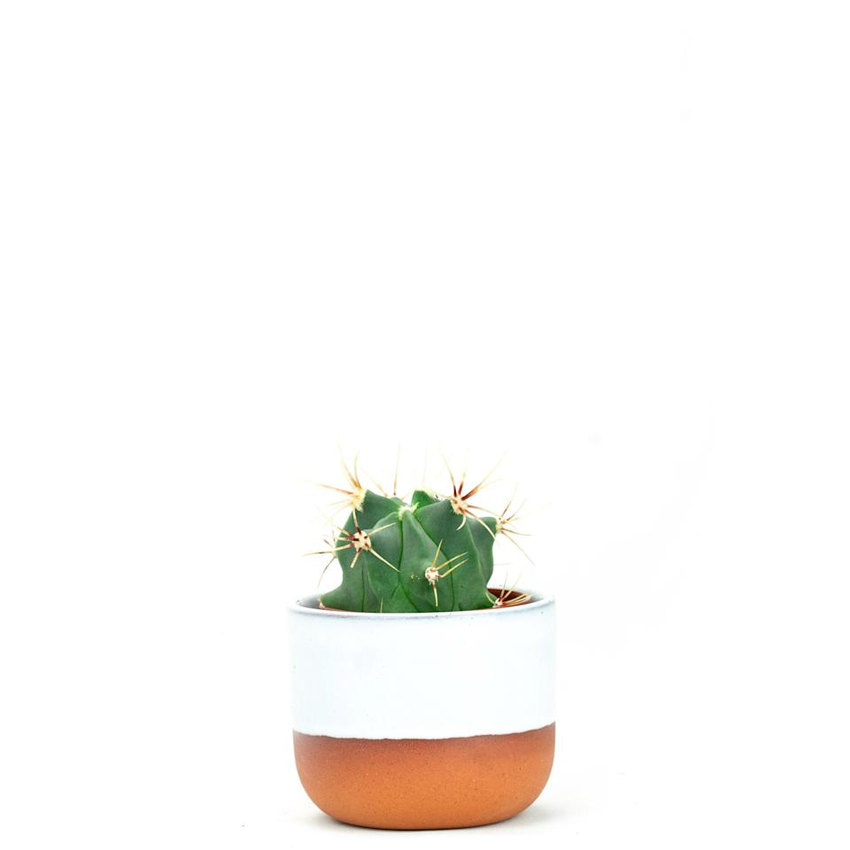 "<br><br><strong>Prick Ldn</strong> Ferocactus Emoryi (5.5cm), $, available at <a href=""https://www.prickldn.com/online-shop/ferocactus-emoryi-55cm"" rel=""nofollow noopener"" target=""_blank"" data-ylk=""slk:Prick Ldn"" class=""link rapid-noclick-resp"">Prick Ldn</a>"