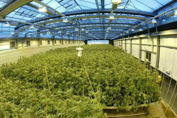 Marijuana grows in a GW Pharmaceuticals greenhouse.