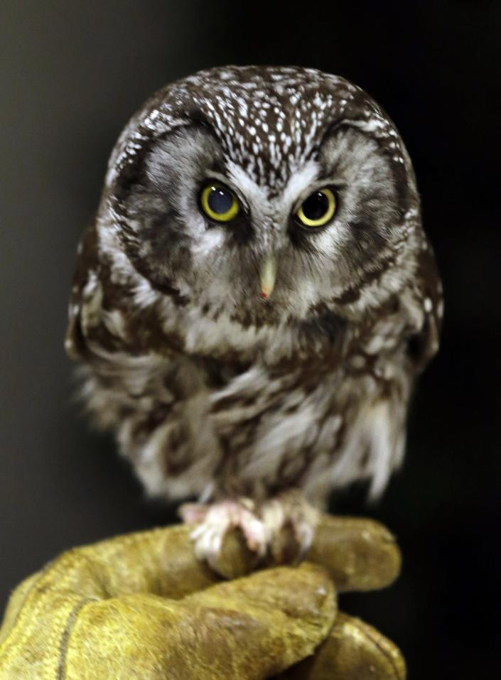 Boreas, an injured boreal owl, sits on a handlers hand, Wednesday, March 13, 2013, at the Raptor Center on the St. Paul campus of the University of Minnesota. The center listed about 30 owls as patients this week. It has been a tough winter for owls in some parts of North America. Some have headed south in search of food instead of staying in their northern territories. (AP Photo/Jim Mone)