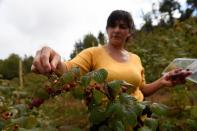 A woman harvests raspberries at a local farm near Chillan