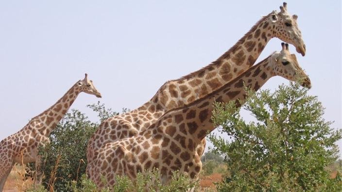 Despite the dangers, tourists head to Koure to see the only giraffes left in West Africa