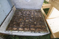 Dead bees lay in a hive kept near Iola, Wis., on Wednesday, Sept. 23, 2020. Beekeepers Samantha Jones and James Cook say that, in this era of beekeeping, bee deaths are expected — sometimes because of mites, pesticides or a combination of stressors. They say it's a good year when only 40 percent of their hives die, but they plan for half. (AP Photo/Carrie Antlfinger)