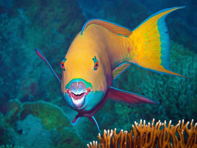 Overfishing can also affect reefs; species such as parrotfish graze on coral-damaging algae.