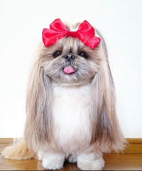 The adorable Shih Tzu knows how to rock her hairstyles.