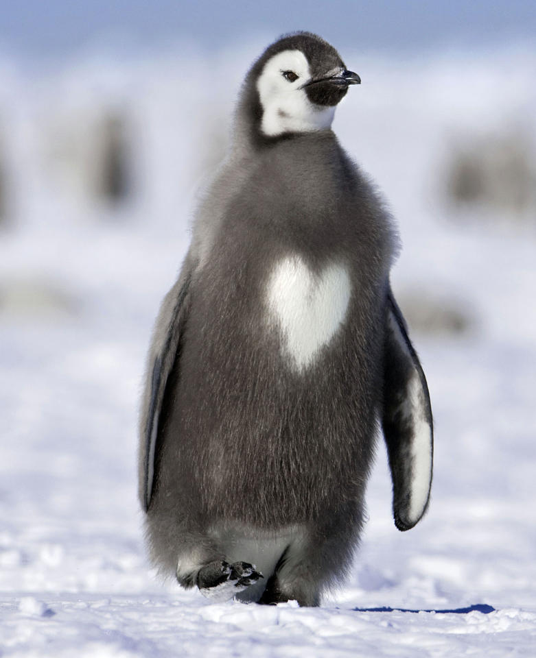 **MANDATORY BYLINE** PIC BY SUE FLOOD / CATERS NEWS - (PICTURED A Penguin with a heart in its feathers) With Valentines Day just around the corner its the time of year when love is in the air but as these pictures prove - its all over the earth too. These extraordinary images, taken by photographers across the globe, show Mother Nature is also gearing up to celebrate the big day with iconic heart shapes appearing all over the natural world. The charming pictures capture Mother Natures romantic side and feature several signs of love including an adorable fluffy penguin with a white heart emblazoned on its chest. Other natural displays include a flamingo creating a heart shape with its white and pink plumage and two swans which appear to kiss as they form a heart shape with their necks. SEE CATERS COPY