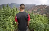 Morocco's traditional cannabis varieties are being smoked out by foreign hybrids offering higher yields and greater potency