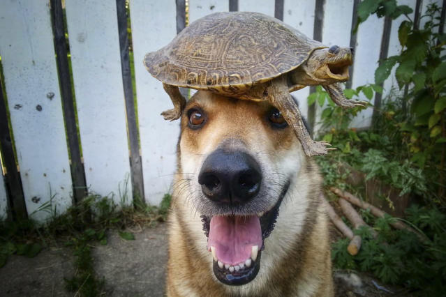 <p>Toby balances a shellac turtle on his head. (Photo: Pat Langer/Caters News) </p>