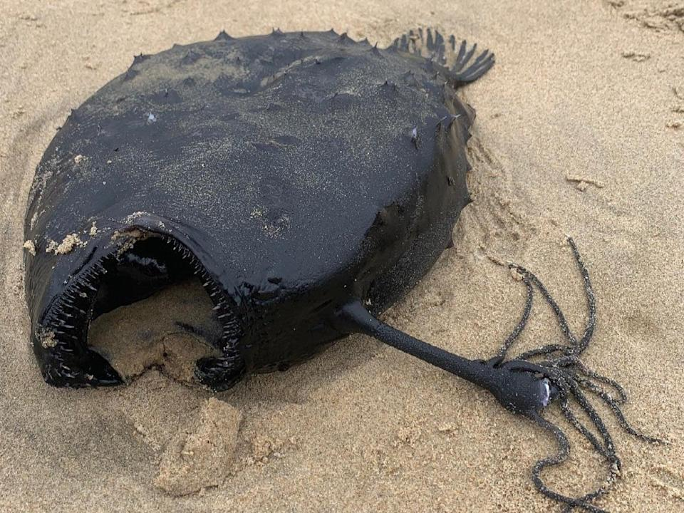 <p>This 'football fish' was on a California beach last week.</p> (Crystal Cove State Park)