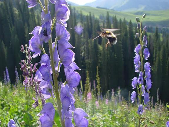 Bumblebees Can Fly Higher Than Mount Everest