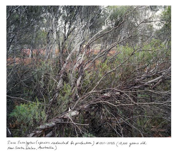The exact location of this rare 13,000-year-old eucalyptus in Australia is kept secret because it is critically endangered. There are only five known individuals of this species, which Sussman was not even allowed to name in her book.