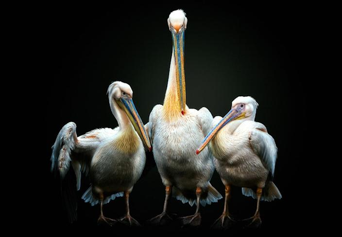 A pelican puts its wings around its children. (Photo: Pedro Jarque Krebs/Caters News)