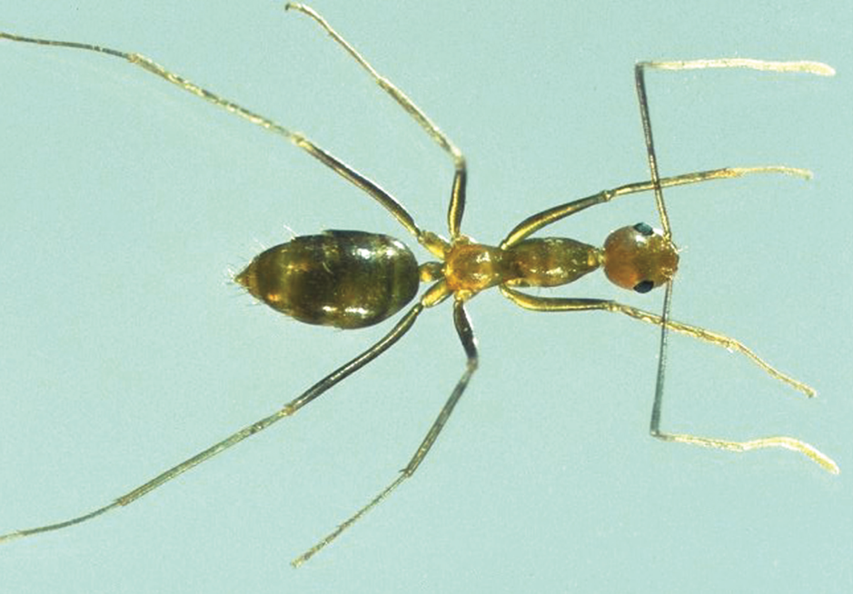 The government is spending $9.2 million on killing yellow crazy ants in Queensland. Source: Department of Agriculture and Fisheries Biosecurity Queensland