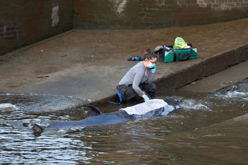A small whale is seen stranded in the River Thames in this picture obtained via social media, in London, Britain