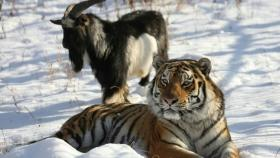 Timur the goat, who was a tiger's best friend, passed away and the internet is overcome with grief