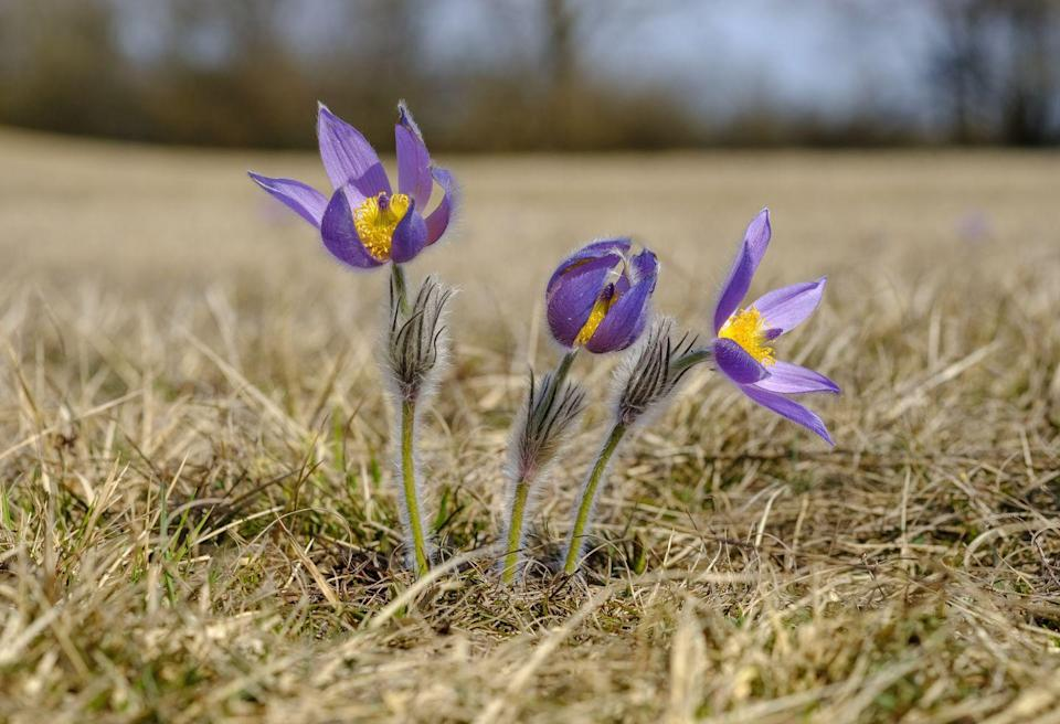"""<p>Also referred to as a <a href=""""https://statesymbolsusa.org/symbol-official-item/south-dakota/state-flower/pasque-flower"""" rel=""""nofollow noopener"""" target=""""_blank"""" data-ylk=""""slk:prairie crocus"""" class=""""link rapid-noclick-resp"""">prairie crocus</a>, this tallgrass flower is, to put it simply, a bit simple.</p>"""