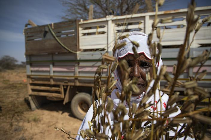 "Faisa Abdi Alleh holds the remains of a sesame crop that was devastated by a swarm of desert locusts in late 2019. <span class=""copyright"">(Will Swanson / For The Times)</span>"