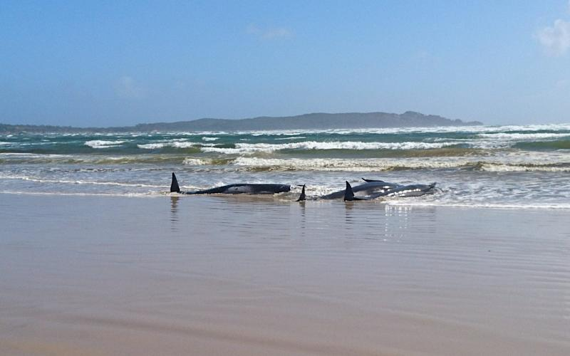Some of the whales were washed onto the beach - TASMANIA POLICE/REUTERS