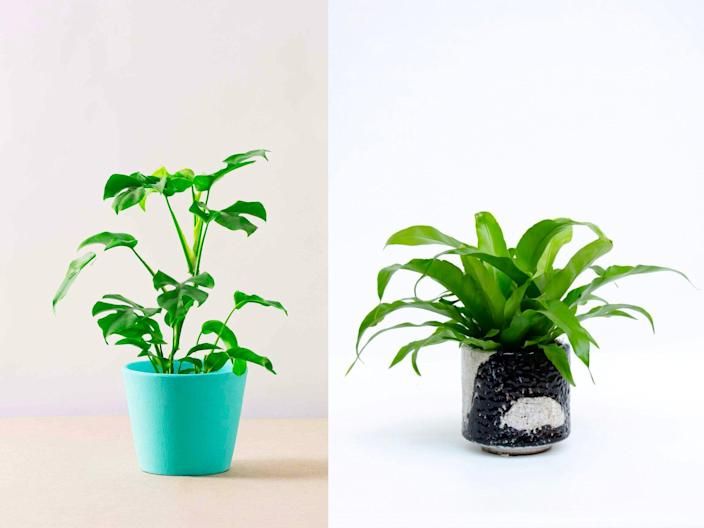 Canopy Plants/In-Tray