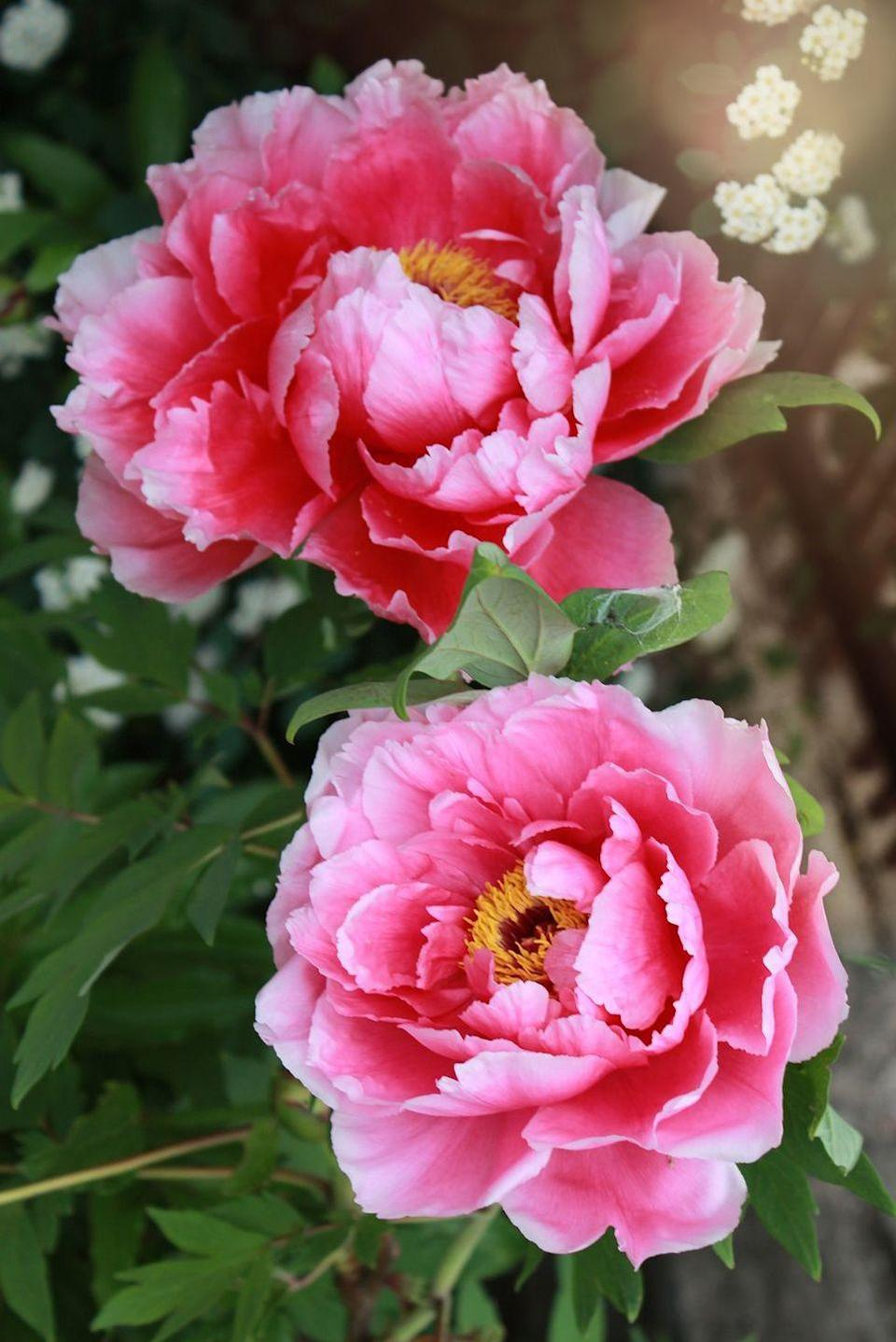 "<p>Oddly enough, these sweet, many-petaled blooms represented ""anger"" to Victorians. Today, however, peonies are linked to romance, marriage, and even bashfulness.</p><p> <strong>RELATED: </strong><a href=""https://www.goodhousekeeping.com/home/gardening/a20705642/how-to-grow-your-own-gorgeous-peonies/"" rel=""nofollow noopener"" target=""_blank"" data-ylk=""slk:How to Grow Your Own Gorgeous Peonies"" class=""link rapid-noclick-resp"">How to Grow Your Own Gorgeous Peonies</a></p>"