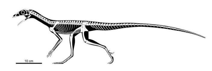 Skeleton of a Triassic Period reptile from a group called Lagerpetidae based on fossils from several species