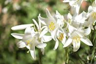 <p>The history of lilies can be traced back about 4,00o years to this very flower. It's notable for this fact, as well as its simplicity and purity.</p><p><em><strong>Division: Candidum hybrid</strong></em></p>