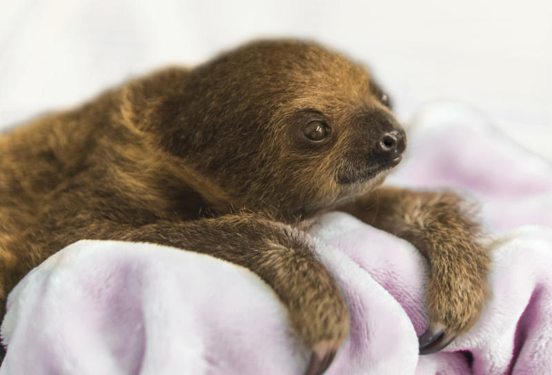 "This Dec. 8, 2017, photo provided by the National Aviary shows a female Linnaeus' two-toed sloth born Aug. 21, 2017,  named Vivien after ""Gone with the Wind"" actress Vivien Leigh and hand-raised to serve as an educational ambassador for the National Aviary in Pittsburgh. Caretakers at Pittsburgh's indoor zoo dedicated to birds began displaying the baby sloth for National Aviary visitors on Tuesday, Jan. 9, 2018, with public appearances scheduled during a regular feeding time at 12:30 p.m. daily. (Jamie Greene/National Aviary for AP)"